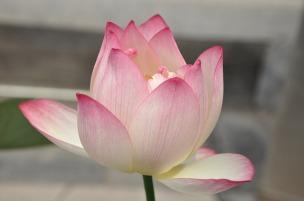 lotus-142029_640