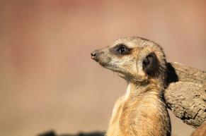 meerkat-700167_1280