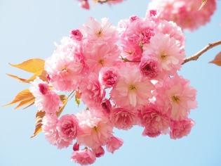 cherry-blossom-1260641_1280