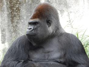 gorilla-928598_1280