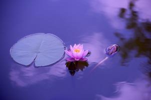 lotus-1205631_1280