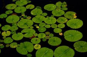 lotus-238452_1280