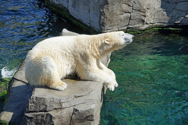 polar-bear-1096468_1280