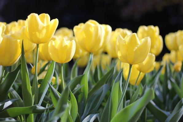 tulips-1083572_1280