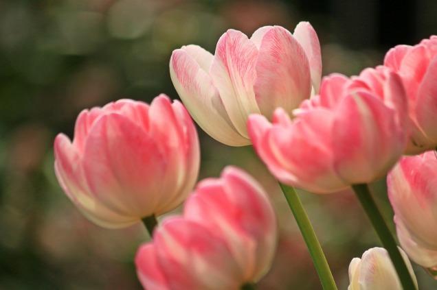 tulips-1134103_1280