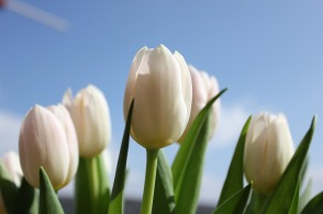 tulips-1276709_1280