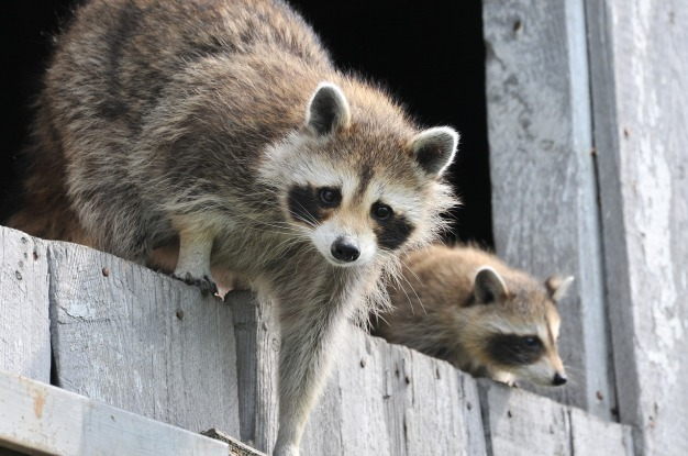 baby-raccoon-1056830_1280