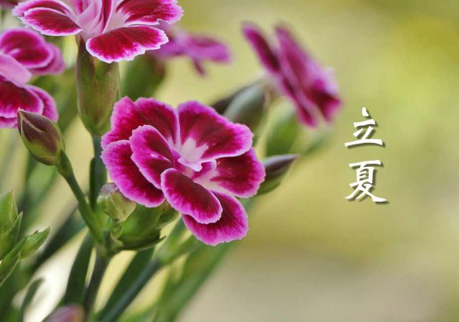 carnation-393259_1280-2