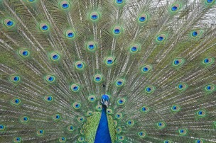 peacock-1300958_1280