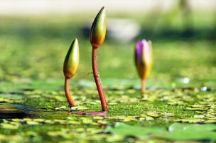 water-lilies-1388690_1280