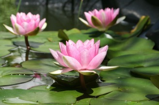 water-lily-1403081_1280