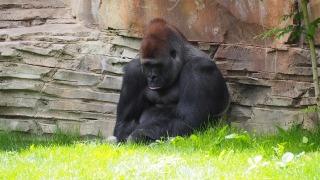 gorilla-1416459_1280