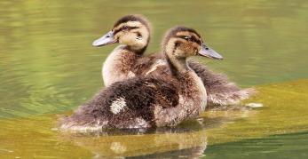 ducks-young-duckling-1512989_1280