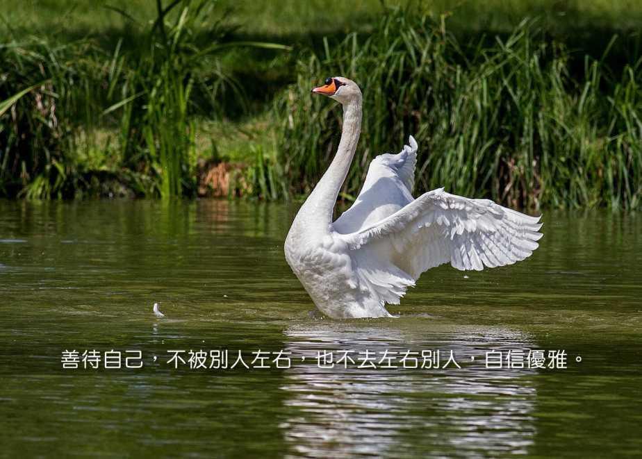 swan-359931_1280-2