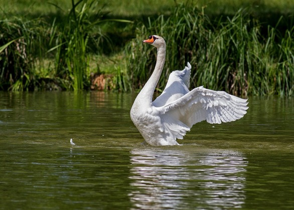 swan-359931_1280