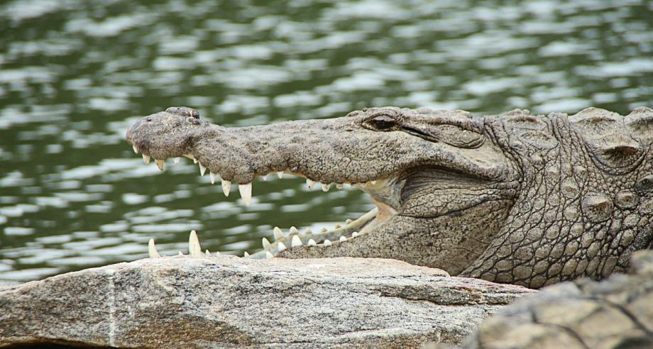 crocodile-543849_1280