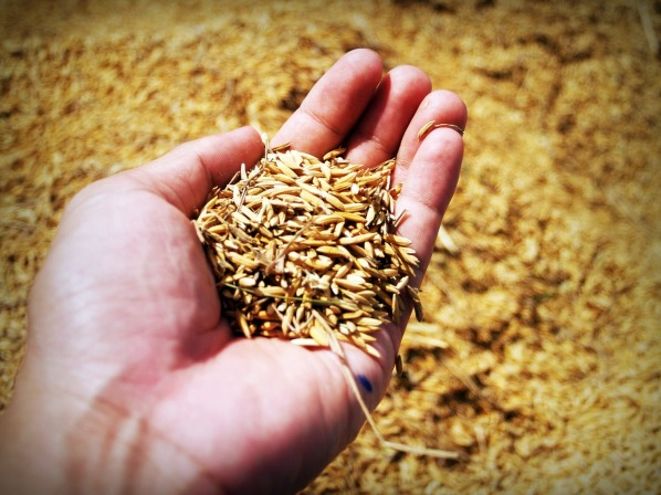rice-1549131_1280