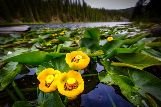 lily-pads-1721527_1280