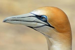 northern-gannet-1577300_1280