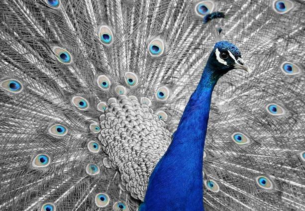 peacock-1676635_1280