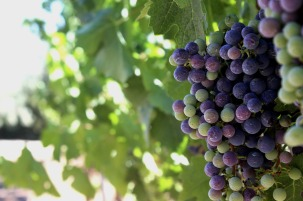 vineyard-1719495_1280