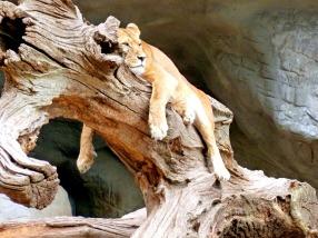 lion-1580721_1280