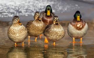 duck-1463317_1280