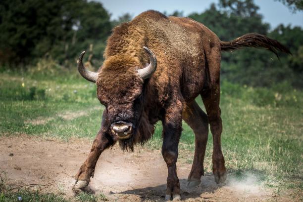 bison-european-2118538_1280