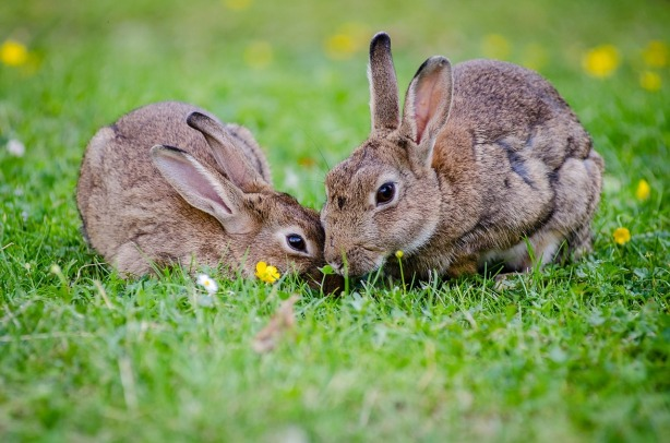 european-rabbits-1006621_1280