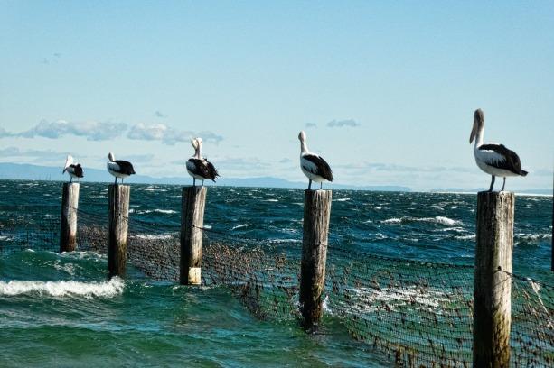 pelicans-861580_1280