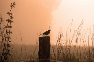 blackbird-542460_1280