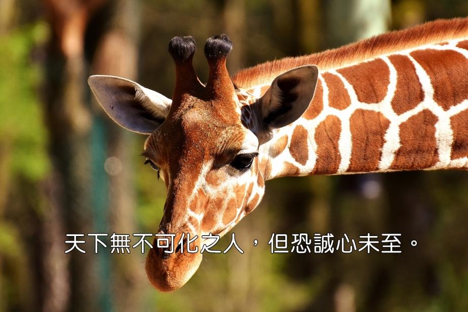 giraffe-2222908_1280-2