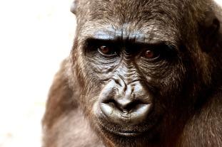 gorilla-2318998_1280