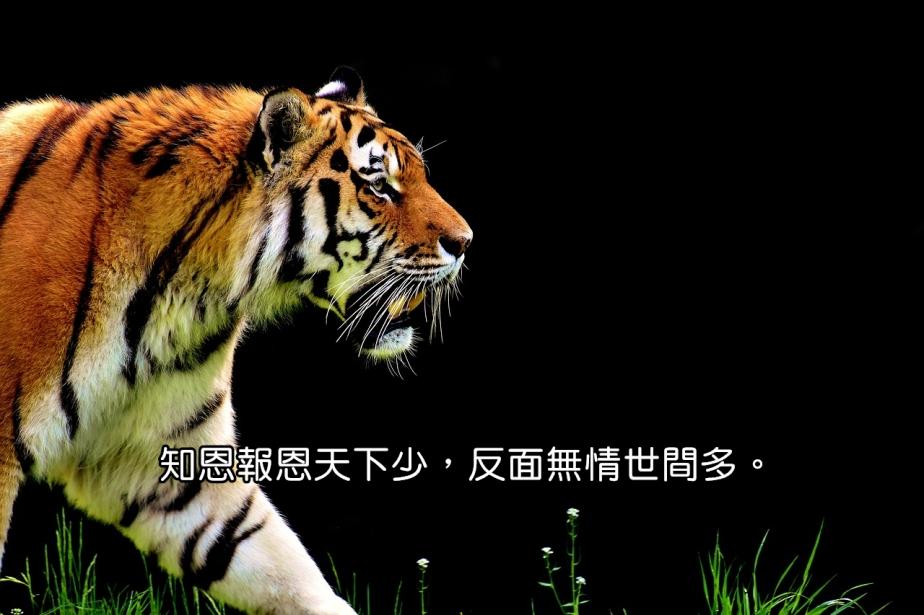 tiger-2320819_1280-2
