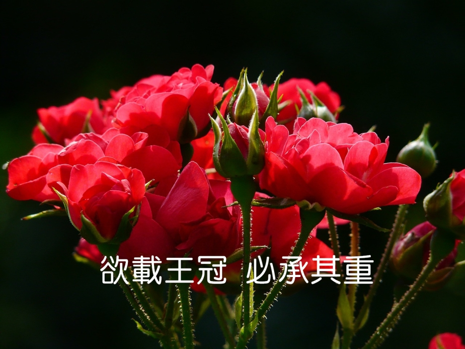 red-roses-4232_1280-2