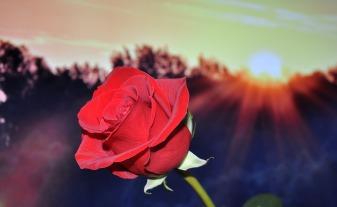 rose-670447_1280