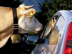 cow-99576_1280