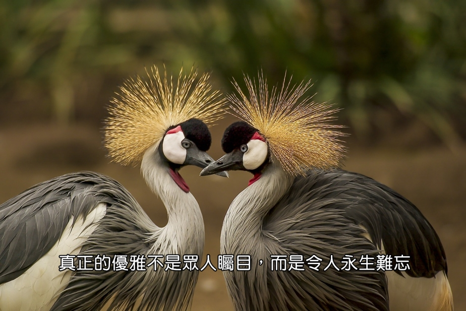 grey-crowned-crane-540657_1280-2