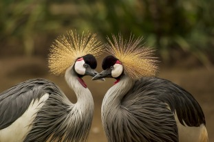 grey-crowned-crane-540657_1280