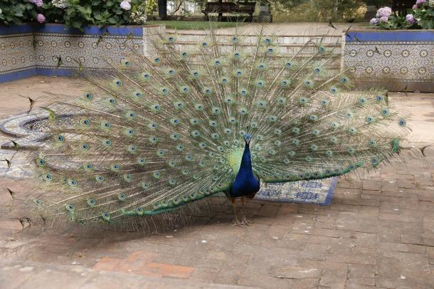 peacock-993310_1280