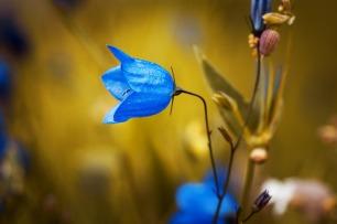 round-leaved-bellflower-1576086_1280