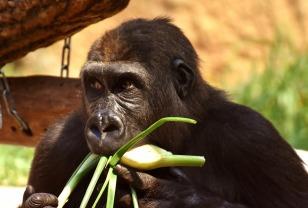 gorilla-2320296_1280