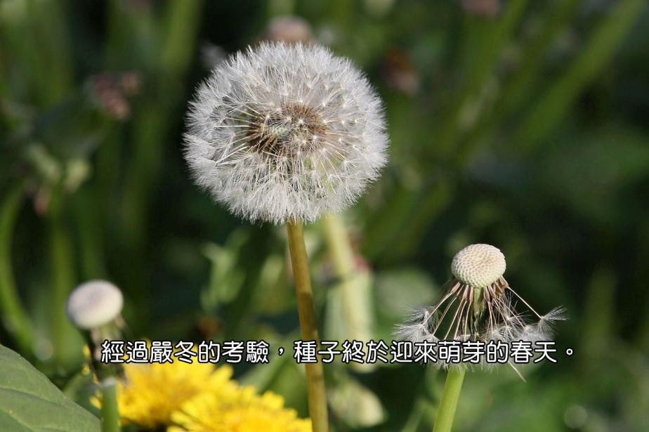 dandelion-3352354_1280-2