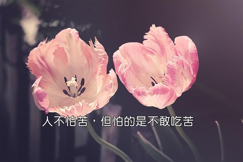 tulips-3339416_1280-2