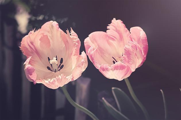tulips-3339416_1280